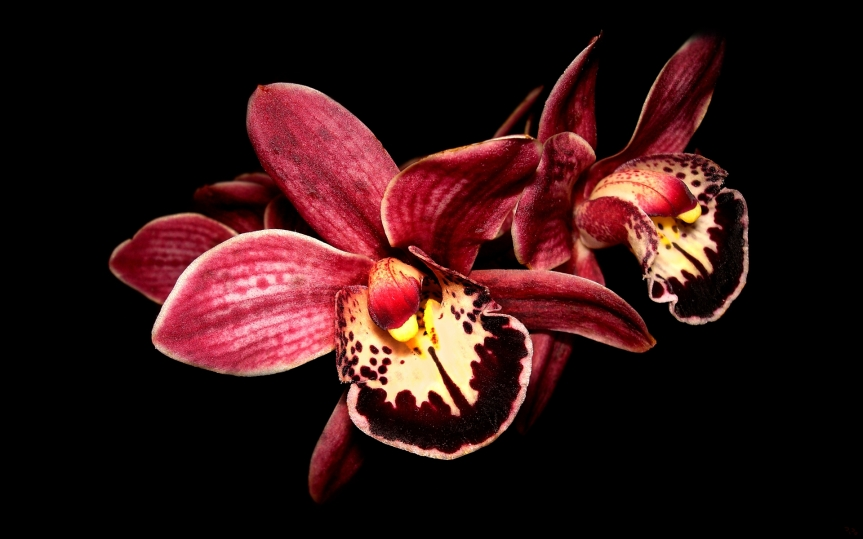 133415d1363927755-orchid-wallpapers-orchids-pic-1920-x-1200