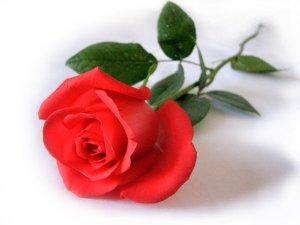 rosa-vermelha1